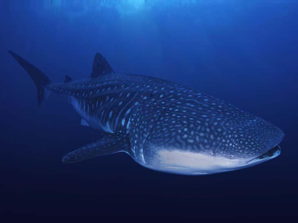 WHALE SHARKS-06