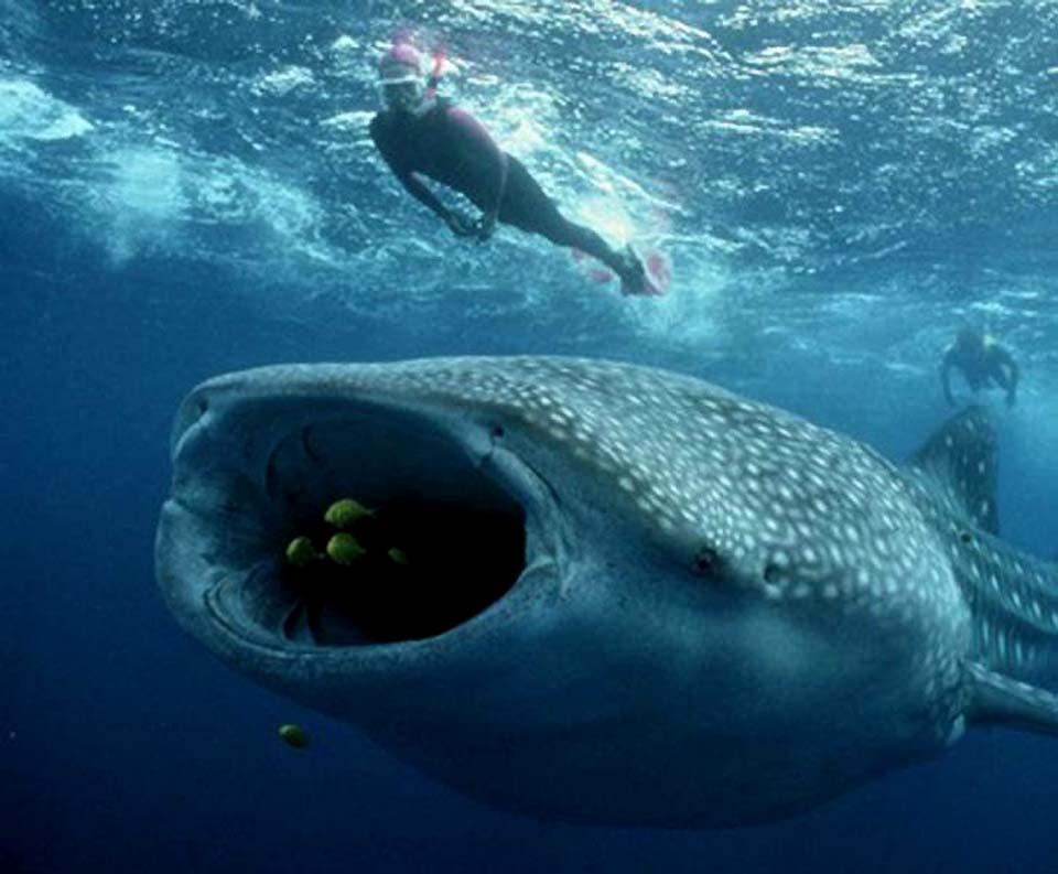 WHALE SHARKS-07