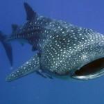 WHALE SHARKS-08