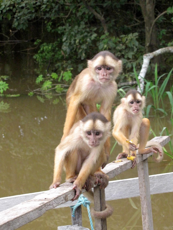 AMAZONIA-WEB-Monkey-05